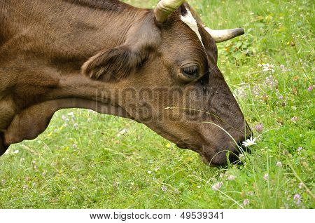 Brown Cow Smelling Flowers