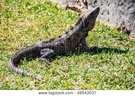 Iguana. Ctenosaura Similis