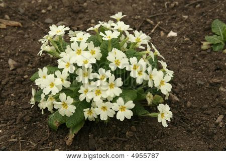 Little Bush Of Beautiful Primrose In The Spring