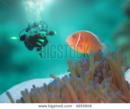 Pink Clownfish And Diver