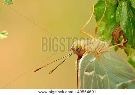 butterfly in natural habitat (argynnis pandora)