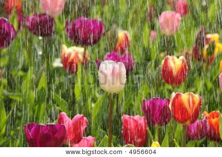 Frühling Tulpen im sonnigen Regen