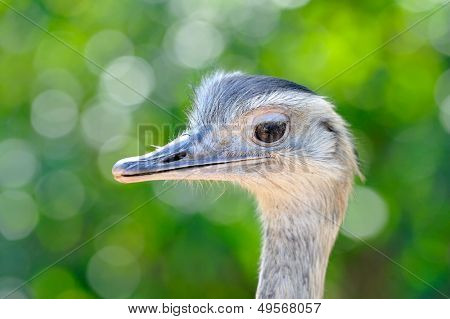 cute ostrich portrait