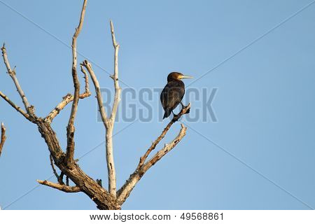 Great Cormoran On Dead Tree