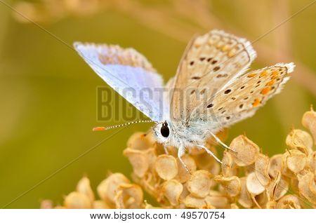 butterfly in natural habitat (lycaena dispar)