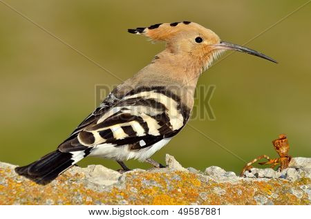 hoopoe bird in natural habitat (upupa epops)
