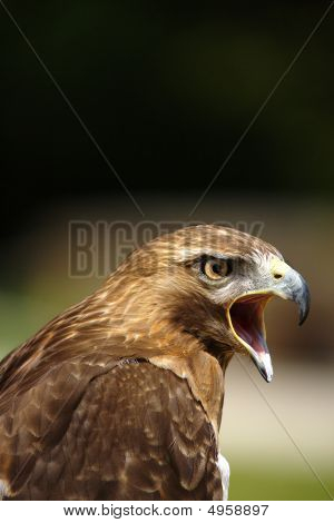 Crying Red Kite  Milvus Milvus