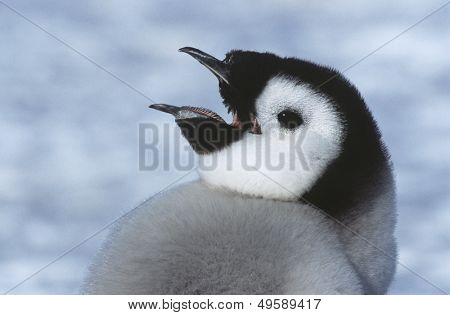 Close-up of Juvenile Emperor Penguin with open beak