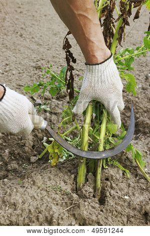 Mowing Potato Haulm Before Digging