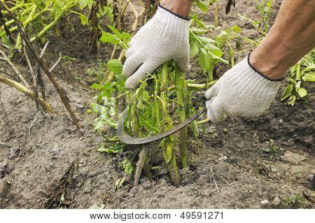 Mowing Potato Haulm Before Digging Gather