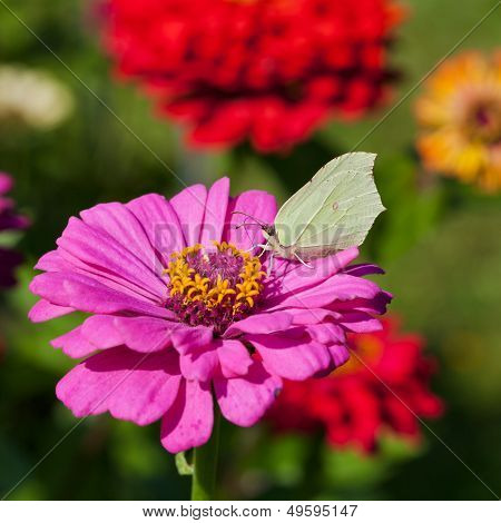 Butterfly On Pink Flower Close Up