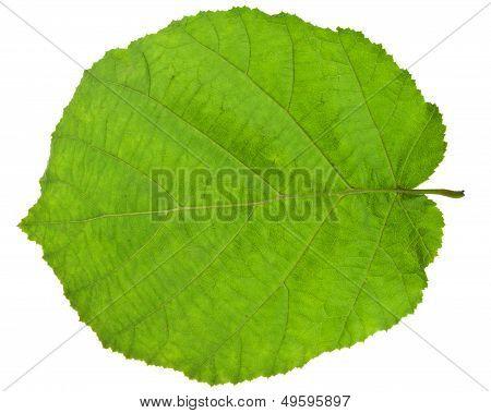 Green Leaf Of Hazel Tree