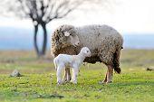 Постер, плакат: овец с милый маленький ягненок на поле весной