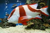 stock photo of grouper  - red emperor  - JPG