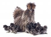 picture of bantams  - A small bantam silkie and her chicks on a white background - JPG