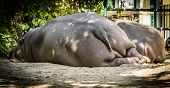 pic of schoenbrunn  - Photo from Back side of two resting hippos,Zoo Schoenbrunn,Vienna,Austria.