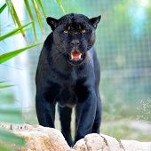 stock photo of sneaky  - black jaguar - JPG
