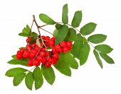 stock photo of rowan berry  - red rowan berries and green leaves isolated on white background - JPG