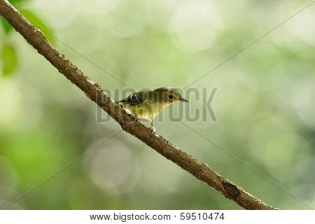 Female Yellow-rumped Flycatcher