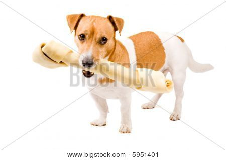 Cute Jack Russel Is Holding A Big Bone