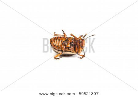 Colorado Potato Beetles