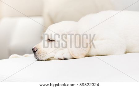 Profile of sleeping puppy on the white leather sofa