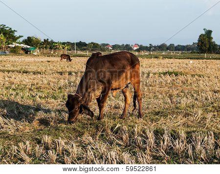 Cow In The Farm Field