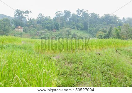 Rice Fields Have A House On A Hill.