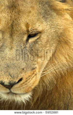 Sad Male Lion