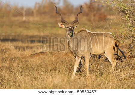 Large Kudu Bull With Beautiful Horns Eating Leaves From A Thorn Tree
