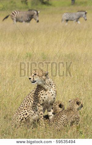 Female Cheetah (acinonyx Jubatus) With Cubs South Africa