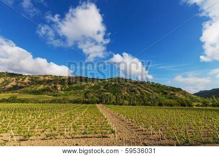 Vinery in Crimea