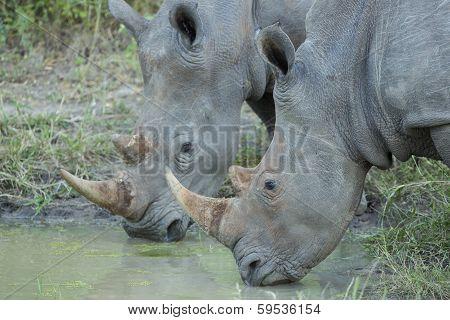 Two White Rhino (ceratotherium Simum) Drinking