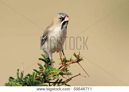 Scaly-feathered finch (Sporopipes squamifrons) perched on a branch, Kalahari, South Africa