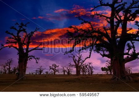 Africa sunset in Baobab trees colorful sky [photo illustration]