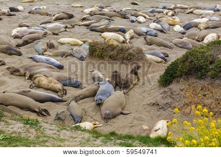California Elephant Seals in wilderness Piedras Blancas point in South Big Sur Pacific Highway 1
