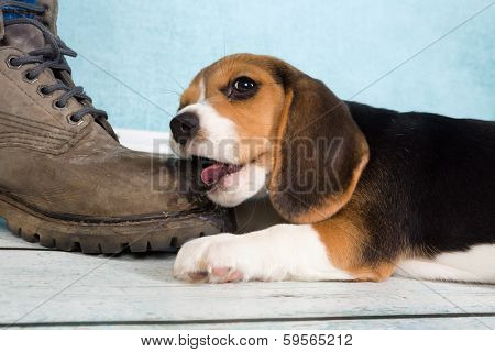 Seven weeks old cute little beagle puppy chewing on some one's foot