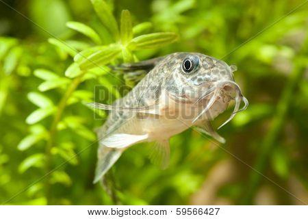 Aquarium corydoras paleatus fish