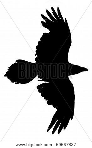 Silhouette of a flying raven on a white background