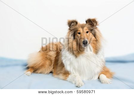 Collie lying on a blue mat