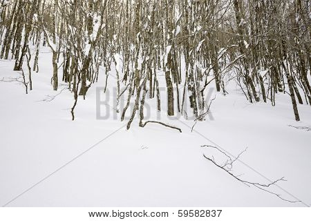 winter forest, valley of Aspe, Pyrenees, France.