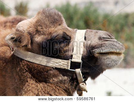 Portrait Of Camel Head