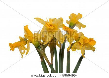 Withered Yellow Flowers Isolated
