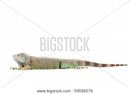 Isolated Iguana