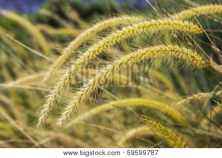 Yellow Poaceae Grass Flower