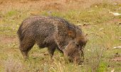 pic of javelina  - Peccary or Javelina feeding - JPG