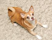 image of chihuahua  - Chihuahua hua dog sits on the carpet indoors - JPG