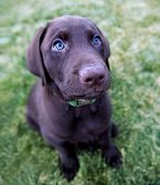pic of chocolate lab  - a cute chocolate lab puppy sitting in the grass - JPG