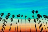 picture of row trees  - California sunset Palm tree rows in Santa Barbara US  - JPG