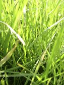 picture of fescue  - close - JPG